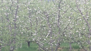 apple orchards in bloom