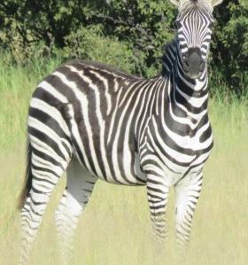 Hwange Zebra