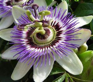 VF passion flower
